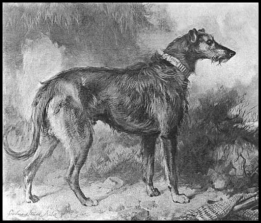 Bran Illustration from Scotch Deerhounds and their Masters 1894