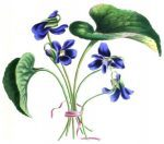 viola odorata by l a meredith 1836 e1497863042115